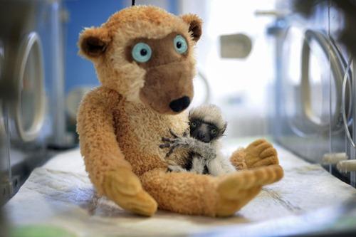 Bebê lemure