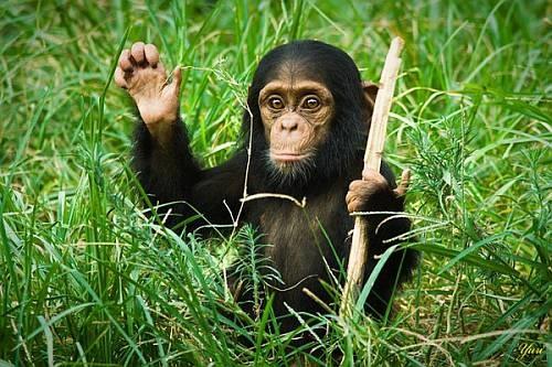 chimp1q
