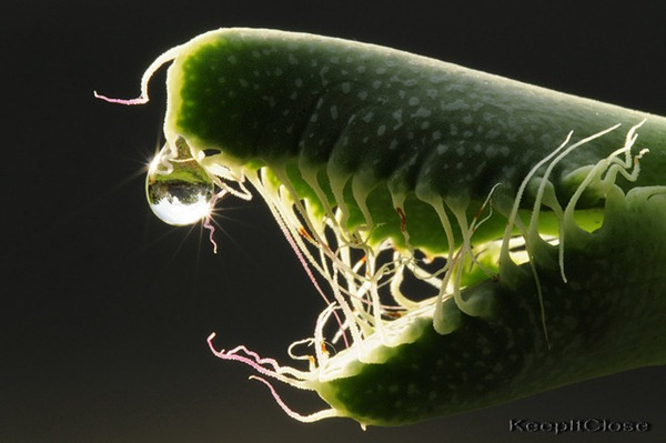 alien jaw faucaria tigrina 3
