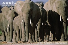 ARKive image GES004047 - African elephant