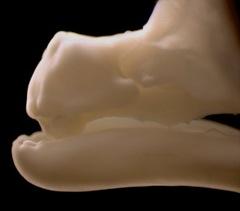 dentes da galinha