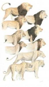 o comprimento, cor e extensão das jubas varia muito entre populações e de acordo com o clima