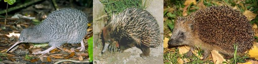 Em ordem: Kiwi, Équidna e Porco-espinho. Qualquer semelhança não é mera coincidência!