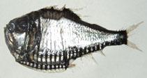 Argyropelecus gigas