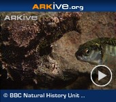ARKive video - Alligator snapping turtle luring in and catching fish