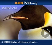 ARKive video - Emperor penguin - overview