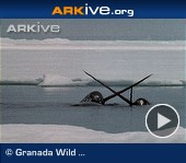 ARKive video - Male narwhals jousting