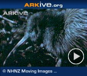 ARKive video - North Island brown kiwi - overview