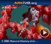 ARKive video - Pygmy seahorse camouflaged against coral