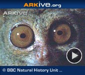 ARKive video - Spectral tarsier feeding