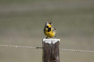 Instinto vs aprendizado? Instinto+aprendizado. O canto de um pássaro depende de seus genes, mas também do ambiente. Fonte: everystockphoto.com