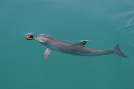 O golfinho nariz de esponja, uma tática alimentar cultural. Fonte: www.monkeymiadolphins.org e Ewa Krzyszczyk