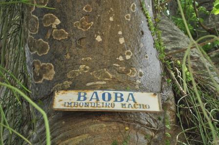 O baobá da Ilha de Paquetá