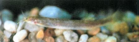 Ituglanis bambui, um bagre cavernícola ameaçado. (Imagem: Bichuette & Trajano, 2004)