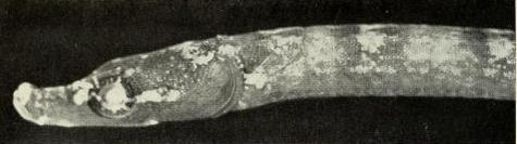 Um peixe cachimbo raro brasileiro, sua empadinha de camarão custa a vida dele (Imagem: Herald & Dawson, 1974)