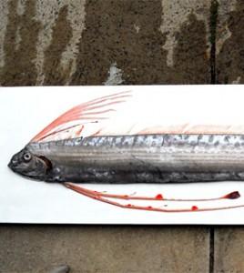 <i>Peixe-remo </i>(Regalecus glens), <i>capturado no litoral de Santa Catarina</i>.