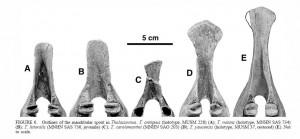 Mandíbulas de cinco espécies de Thalassocnus, a esquerda a mais antinga a direita a mais jovem. Note o aumento progressivo da ponta da mandíbula, uma adaptação relacionada com o desenvolvimento de lábios grandes semelhantes aos dos peixes-boi que ajudam na hora de se alimentar de plantas aquáticas.