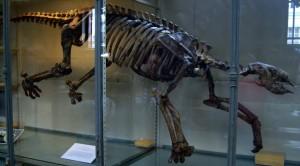 Esqueleto de Thalassocnus natans em exposição no Museu de História Natural de Paris. Repare na diferença de tamanho entre os membros anteriores e posterios. Imagem retirada da Wikipedia