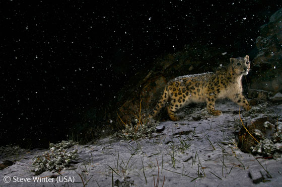 """Snowstorm Leopard"", foto ganhadora do Wildlife Photographer of the Year 2008."