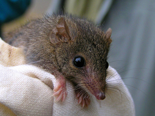 normal_Z-badoo_tealeaf-antechinus