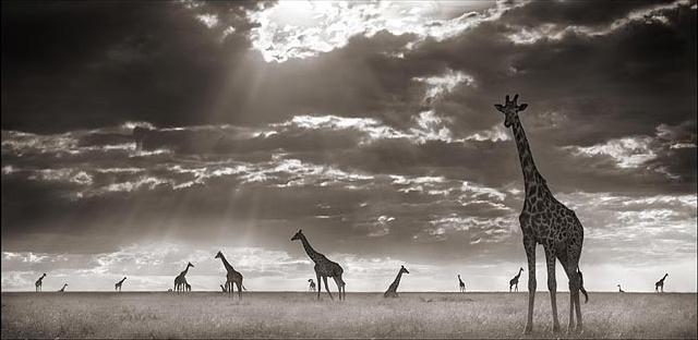 Giraffes (Small).jpg
