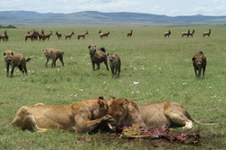 PHOTO_3_Lions_and_hyeanas_eating_topi.JPG