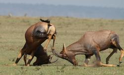 Thumbnail image for PHOTO_5_Fighting_topi_bulls.JPG