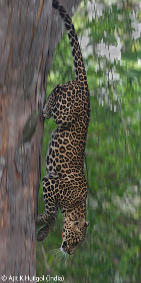 leopard descending.jpg