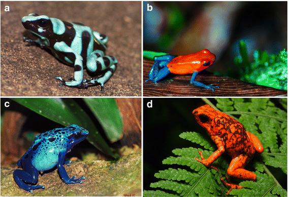 Algumas rãs da família Dendrobatidae, que possuem substâncias altamente tóxicas na pele. a) Dendrobates auratus, também conhecida como rã venenosa dardo verde e preto (crédito: Brian Gratwicke); b) Oophaga pumilio, rã-morango (crédito: Danel Solabarrieta); c) Dendrobates azureus, ou sapo boi-azul (crédito: Brad Francis); d) Oophaga sylvatica também chamada de diablo ou diabo em português (crédito: Santiago R. Ron-FaunaWebEcuador)