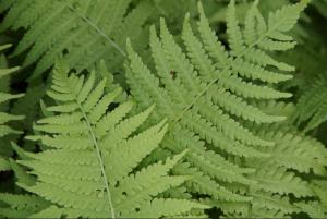Samambaias reforçam hipótese de formação de floresta na Argentina