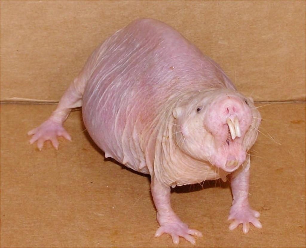 animal rato toupeira pelado