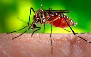 Aedes aegypti - Pragas e Eventos