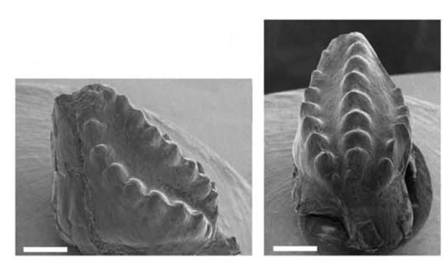 O mistério dos dentes fósseis