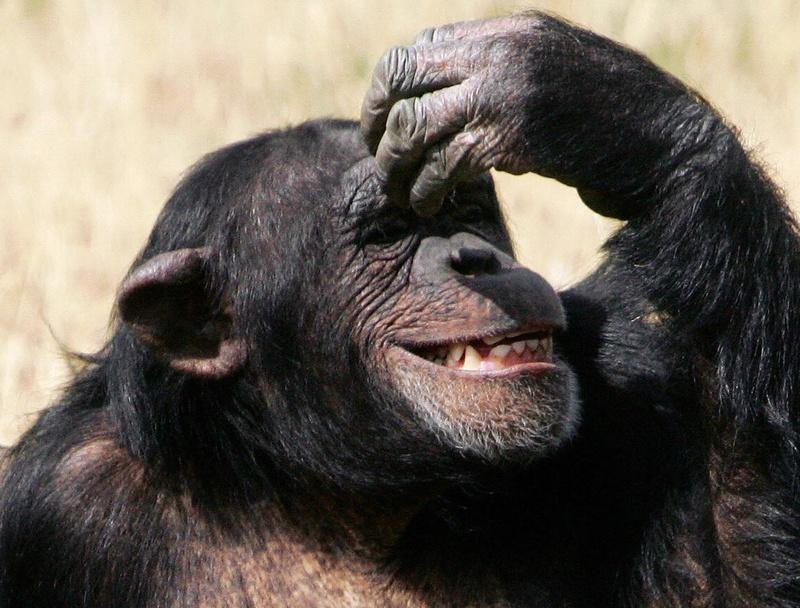 """The nine-year-old chimpanzee """"Pia"""" nurse"""