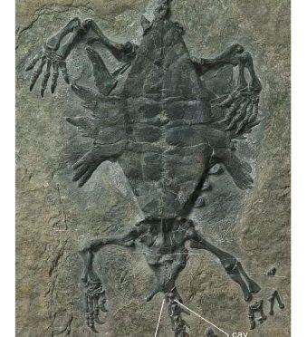 Resolvendo o enigma das tartarugas: A evolução da carapaça