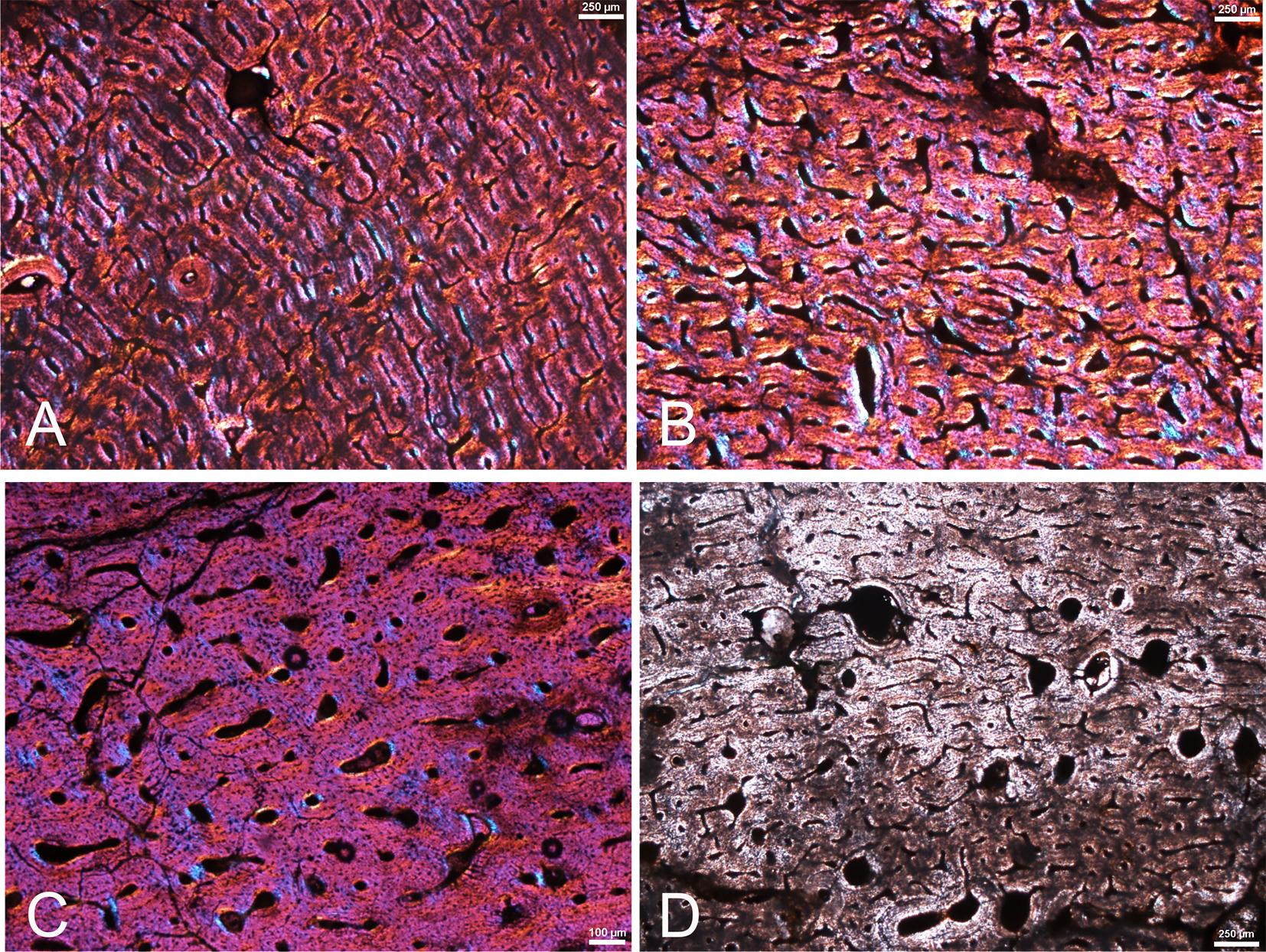 Lâminas histológicas com células fossilizadas do titanossauro de Sousa. Imagem retirada do artigo de Ghilardi et al. (2016).