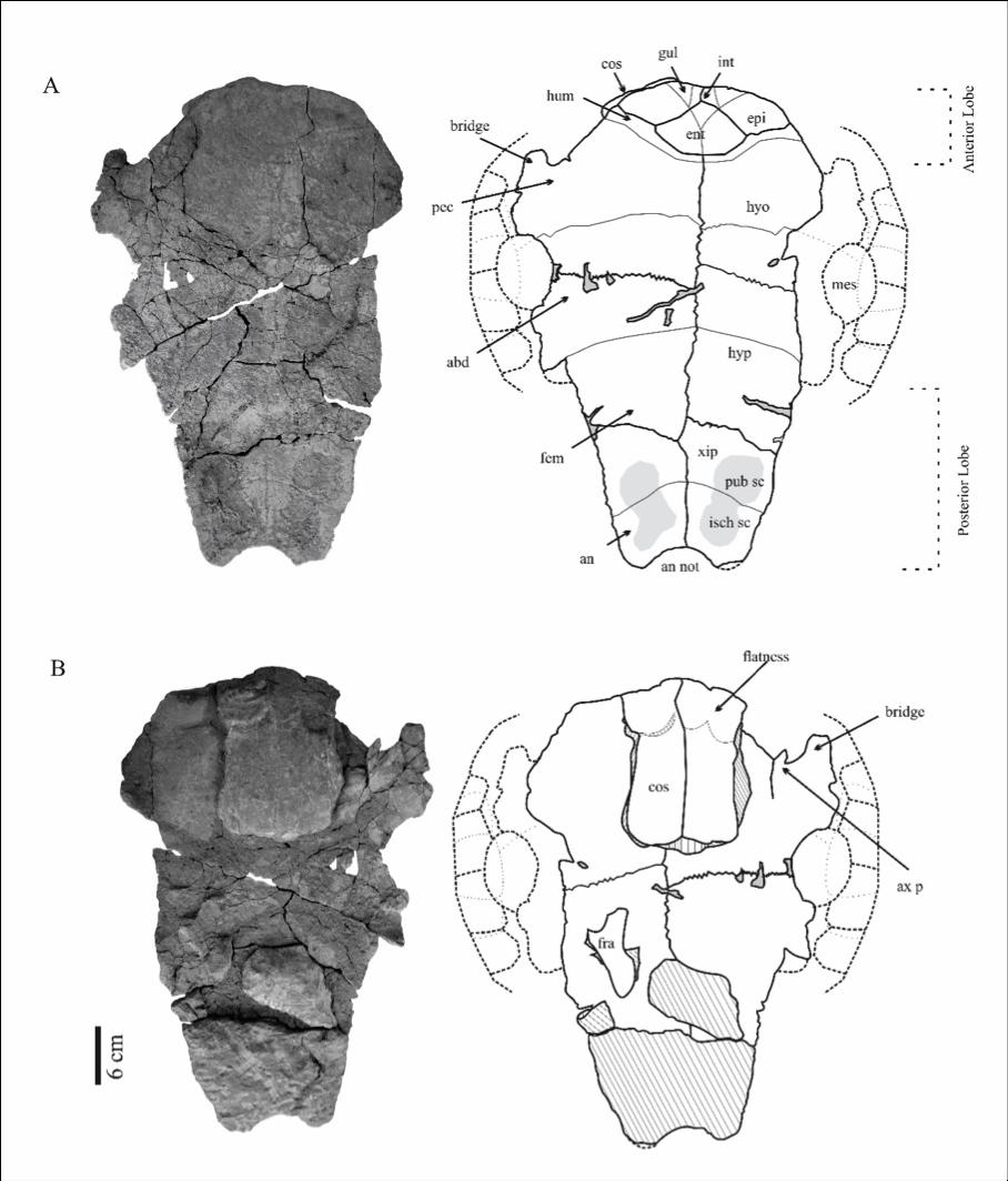 Plastrão de Inaechelys. Imagem retirada do artigo de Anny R. Carvalho e colaboradores, 2016.