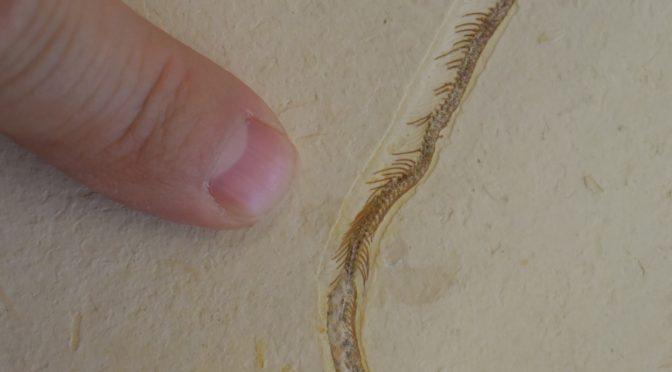 """Tetrapodophis amplectus e a história sem fim da """"cobra"""" de quatro patas: uma perspectiva interna."""