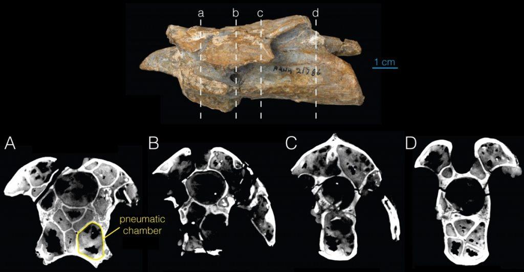 Pneumticidade em vértebra de um dinossauro terópode. Característica também presente em Sauropodomorpha.