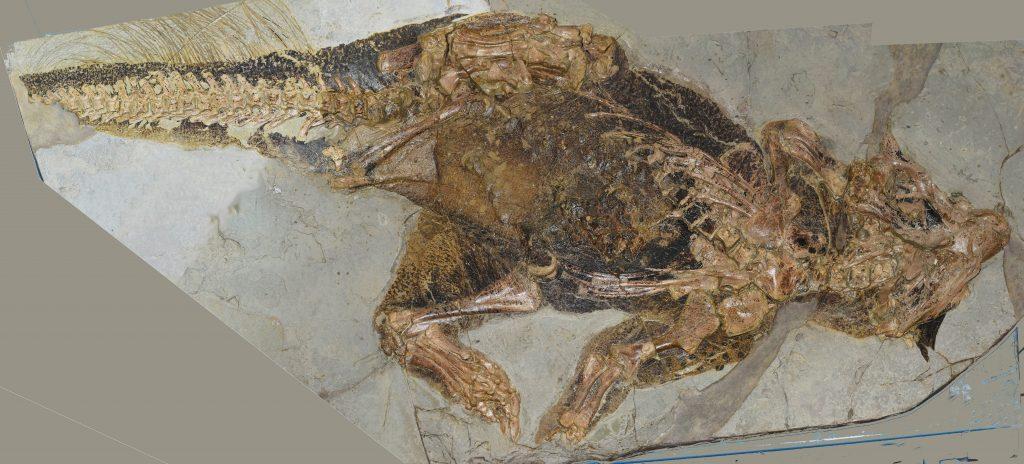 Fóssil de Psittacosaurus, um dinossauro Ornithischia, com estruturas tegumentárias possivelmente homólogas às penas.