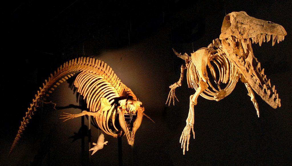 Cynthiacetus (esquerda), um cetáceo completamente aquático, e Ambulocetus natans, uma forma semi-aquática de cetáceo do Eoceno. Foto de Jean-Pierre Dalbéra.