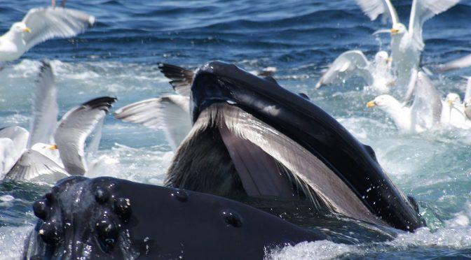 """Cetáceos e seus """"modos à mesa"""": um guia de como filtrar sua comida"""