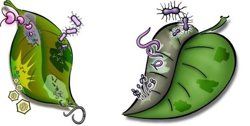 Logos dos Simpósios de novos Fitologistas, números 22 (esquerdo) e 30 (direito). Ambos foram produzidos pela APPS. (https://www.newphytologist.org/news/view/41)