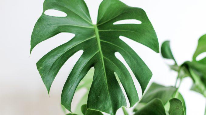 Uma folha de planta