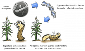 Planta transgênica Bt