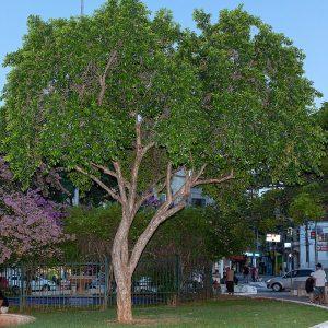Árvore de Cambuci