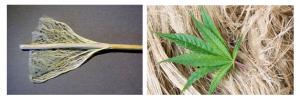 Fibras do caule de cânhamo para têxteis