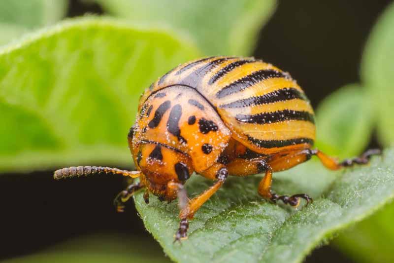 Colorado Potato Beetle – Praga quarentenária extremamente prejudicial a cultura da batata