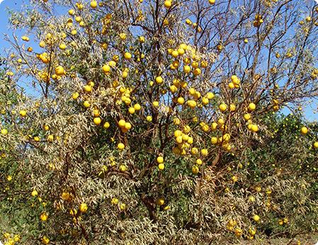 Um pé de citrus afetado pela epidemia da Tristeza, com muitos frutos, porém seco.