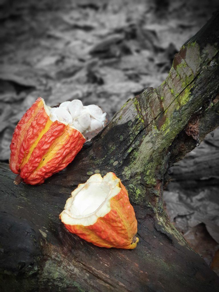 Fruto do Cacau partido ao meio, mostrando que é branco por dentro antes de passar pelo processamento industrial